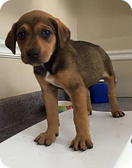 German Shepherd Dog/Treeing Walker Coonhound Mix Puppy for adoption in ...
