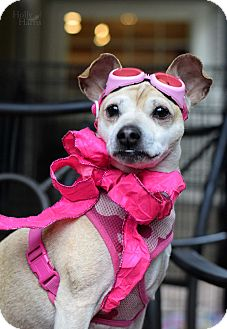 Chihuahua/Terrier (Unknown Type, Small) Mix Dog for adoption in Baton Rouge, Louisiana - Trixie
