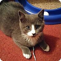 Adopt A Pet :: Ying - Southington, CT