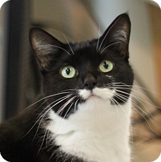 Domestic Shorthair Cat for adoption in Naperville, Illinois - Catarina