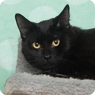Domestic Shorthair Kitten for adoption in Chippewa Falls, Wisconsin - Triz