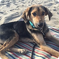 Adopt A Pet :: Duke - Long Beach, CA