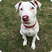 Adopt A Pet :: Denali - Plainville, CT