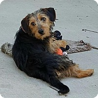 Yorkie, Yorkshire Terrier Mix Dog for adoption in Baileyton, Alabama - Perry