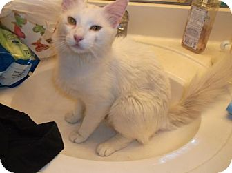 Domestic Mediumhair Cat for adoption in el mirage, Arizona - Leonard