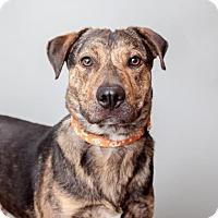 Plott Hound Mix Dog for adoption in Mission Hills, California - Brian