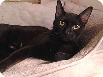 Domestic Shorthair Cat for adoption in Richmond, Virginia - Calypso