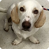 Adopt A Pet :: George-in CT - Manchester, CT