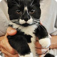 Domestic Mediumhair Cat for adoption in Brooklyn, New York - Pippa