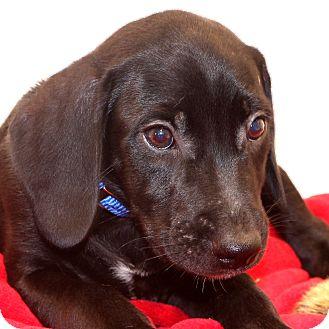 Labrador Retriever Mix Puppy for adoption in Glastonbury, Connecticut - Miles