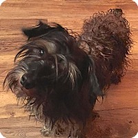 Yorkie, Yorkshire Terrier/Cairn Terrier Mix Dog for adoption in Sparta, New Jersey - Rochester