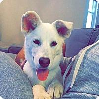 Adopt A Pet :: Pup Sugar - Rockville, MD