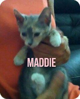 Calico Kitten for adoption in Glendale, Arizona - MADDIE