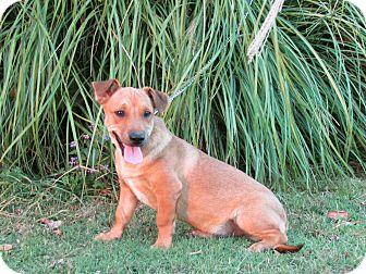 Terrier (Unknown Type, Medium)/Labrador Retriever Mix Puppy for adoption in Bedminster, New Jersey - BOYD