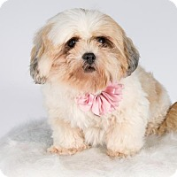 Shih Tzu Dog for adoption in St. Louis Park, Minnesota - Charm