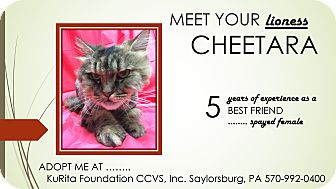 Domestic Longhair Cat for adoption in Saylorsburg, Pennsylvania - Cheetara