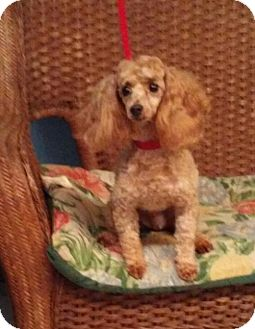 Poodle (Miniature) Dog for adoption in Tulsa, Oklahoma - Louise