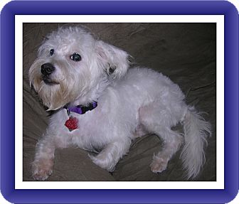 Bichon Frise/Schnauzer (Miniature) Mix Dog for adoption in Tulsa, Oklahoma - Adopted!!Panda - IL