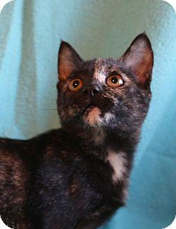 Manx Kitten for adoption in Hagerstown, Maryland - Mincey