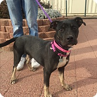 Shepherd (Unknown Type)/Pit Bull Terrier Mix Dog for adoption in Trinidad, Colorado - Sweet Pea