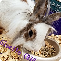 Adopt A Pet :: Giselle - Tiffin, OH