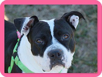 American Staffordshire Terrier Dog for adoption in McDonough, Georgia - CJ