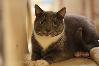 Domestic Shorthair Cat for adoption in Richmond, Virginia - Spunkee