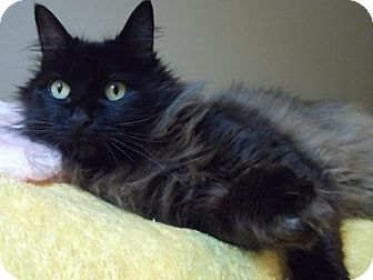Domestic Mediumhair Cat for adoption in Portland, Oregon - Matilda
