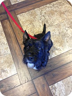 Scottie, Scottish Terrier Dog for adoption in Ogden, Utah - Lynx