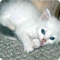 Adopt A Pet :: Baby Puff - Duncan, BC