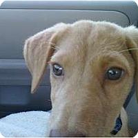 Adopt A Pet :: Cinderella - Denver, CO