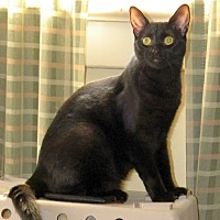 Domestic Shorthair Cat for adoption in Audubon, New Jersey - Shirley