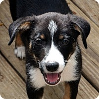 Adopt A Pet :: Stimpy - Garland, TX