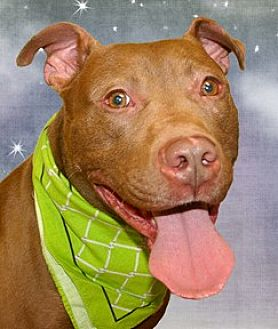Staffordshire Bull Terrier Mix Dog for adoption in Cincinnati, Ohio - Redd