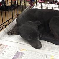 Adopt A Pet :: Shadow - Fresno, CA