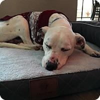 Adopt A Pet :: Stogie - PENDING - Grafton, WI