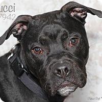 Adopt A Pet :: Gucci - Troy, MI