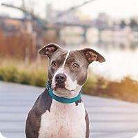 Adopt A Pet :: Bella (foster) - Portland, OR