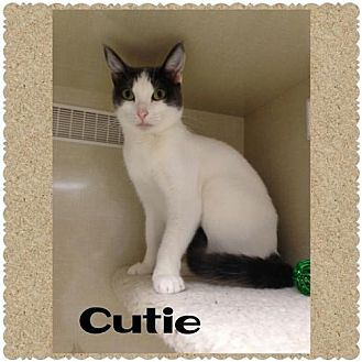 Domestic Shorthair Cat for adoption in Walnut Creek, California - Cutie