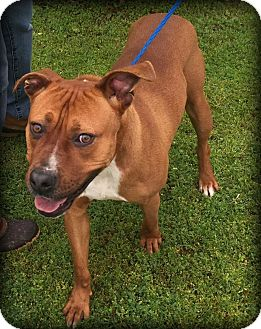 Boxer Mix Dog for adoption in Demopolis, Alabama - Creed