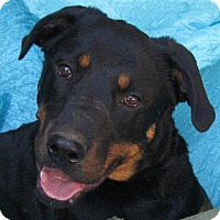Rottweiler Mix Dog for adoption in Cuba, New York - Crow