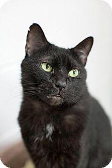 Domestic Shorthair Cat for adoption in Stafford, Virginia - Onyx