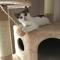 Domestic Shorthair Kitten for adoption in Old Bridge, New Jersey - Annie