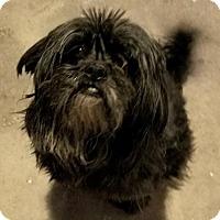 Adopt A Pet :: Dion - San Tan Valley, AZ