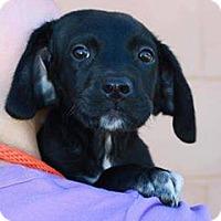 Labrador Retriever/Border Collie Mix Puppy for adoption in Summerville, South Carolina - Milo