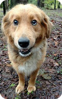 Retriever (Unknown Type)/Collie Mix Dog for adoption in Capon Bridge, West Virginia - Mozart