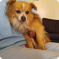 Pomeranian Mix Dog for adoption in LAKEWOOD, California - Peter