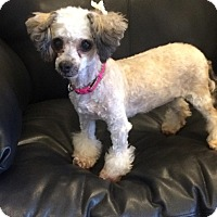 Adopt A Pet :: Candie - Henderson, NV