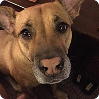 Shepherd (Unknown Type) Mix Dog for adoption in tucson, Arizona - Isabella