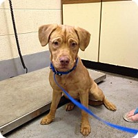 Adopt A Pet :: Goldie - Beckley, WV